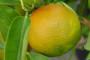 Mandarine pred nestankom