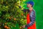 Rasla cijena mandarina, grožđa i krušaka, pala jabuci