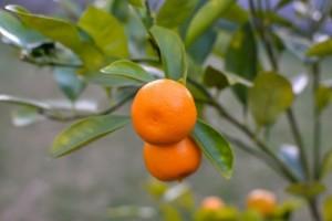 Kako uspješno uzgojiti mandarinu u posudi?