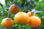 Počeci sadnje i razvoj uzgoja mandarina
