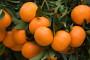 HOK traži poništenje javnog natječaja za otkup mandarina