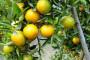 Vlada pokazala razumijevanje, obitelji smiju zajedno brati mandarine