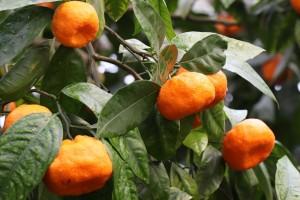 AZTN pokrenuo postupke protiv otkupljivača mandarina Fragaria Neretve, Filipa i Setovia voća