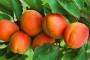 Zaštita koštičavog voća
