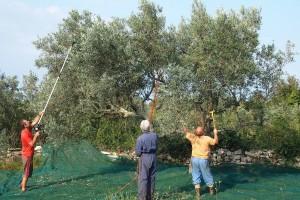 Marino Pripuzović: Volio bih da stvorimo zadrugu malih eko proizvođača maslinovog ulja i zajedno idemo na tržište