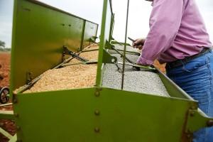 Vreme je za setvu ozime pšenice, evo  koje su preporuke stručnjaka