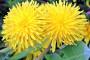 Maslačak - zaštitnik bilja, gnojivo i lijek