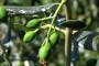 Zaštita masline od maslinine muhe i maslininog moljca