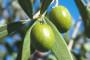 Zbog suše maslinovo ulje skuplje čak 62 posto