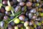 Vrtovi lunjskih maslina povukli 450 tisuća eura
