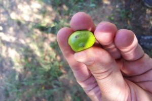Stiže najopasniji štetnik: Svaka maslinina muha uništi po 50 plodova!
