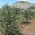 Radovan Vukoje: Zasadili smo 1.000 maslina, planiraramo širenje zasada