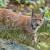 Stigao je Doru, ris koji donosi novu krv u risju populaciju Gorskog kotara