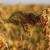 Proso: Zapostavljena žitarica otporna na klimatske promene
