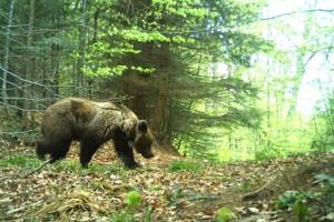 Markirani medvedi na Tari: Aleksandar nosi kameru, a Zoran sprema 35.000 podataka