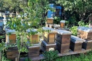 Uzimljavajte pčele na vrijeme i tretirajte od varoe aromatičnim biljem