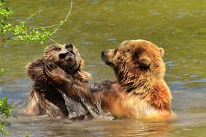 Za 15 godina zabeležena 664 napada medveda na ljude, koji su najčešći uzroci?