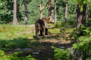 Medvjed napao, odvukao i zakopao konja u šumi