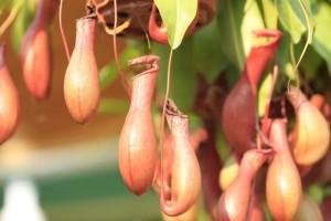 Biljke mesožderke treba zalijevati destiliranom vodom ili kišnicom