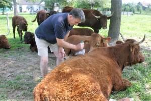 Uzgoj Salers goveda - poljoprivreda za lijenčine?