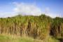 Miskantus u trećoj godini daje 20 tisuća kg trske!