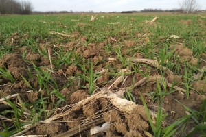 Od vikenda oblačno - sušenje listova pšenice i ječma zbog niskih temperatura