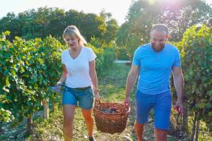 Šta raditi u vinogradu prve godine poslije sadnje?