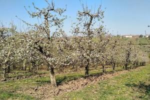 Đubrenje zasada voća azotnim mineralnim đubrivima