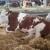 U Mrčajevcima mlečno govedarstvo samo iz kredita
