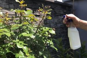 Kalcij iz mlijeka jača i štiti biljke - kako ga koristiti