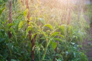 Mlekom ojačajte biljke i sprečite razvoj bolesti