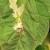 Uočen moljac paradajza - moguće hemijsko i nehemijsko suzbijanje