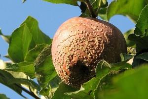 Sušenje cvetova i grančica, trulež plodova jabučastog voća - simptomi i suzbijanje