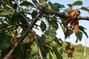 Kiša može da utiče na razvoj monilije na voću