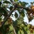 Kiša može utjecati na razvoj monilije na voću
