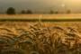 Svjetsko tržište žitarica - novosti