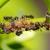 Jesu li mravi štetni ili korisni na parceli - određuje njihova brojnost