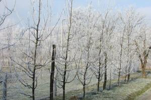 Kako od mraza sačuvati stare sorte voća?