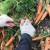 Domaća šargarepa konkurentna na tržištu