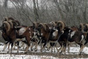 Kakve veze imaju migranti sa naseljavanjem muflona u Subotičkoj šumi?