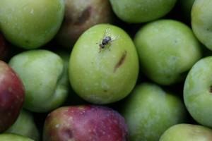 Oprez: Počeo let prve generacije maslinine muhe!