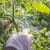 Prirodnim materijalima malčirajte paradajz i istovremeno obogatite zemljište