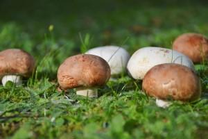 Uzgajajte gljive u vašem vrtu ili voćnjaku
