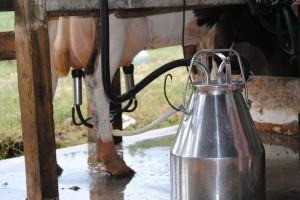 Obratite pažnju na higijenu muže, u cilju dobijanja mlijeka visokog kvaliteta