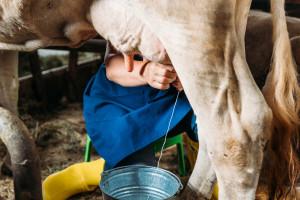 Kako broj dnevne muže utječe na mliječnost