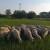Prepodne radi u opštini, popodne sa ovcama