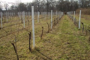 Šta niste znali o podizanju zasada vinove loze?