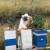 Spašavali ovce: Preživjeli ubode 300 pčela