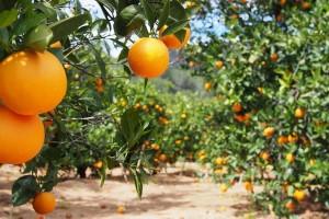 Zašto su uvozni citrusi jeftiniji od domaćeg voća?