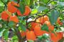Uspješan uzgoj naranče u kućnom ambijentu